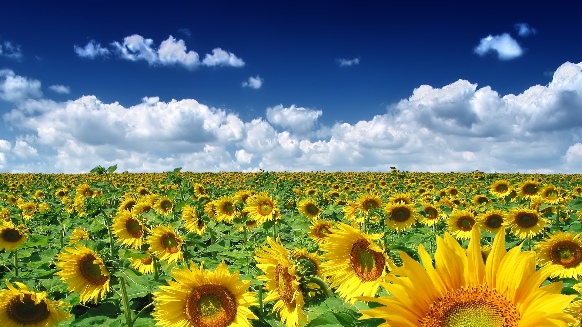free spring wallpaper sunflowers hd wallpaper background – wackyface